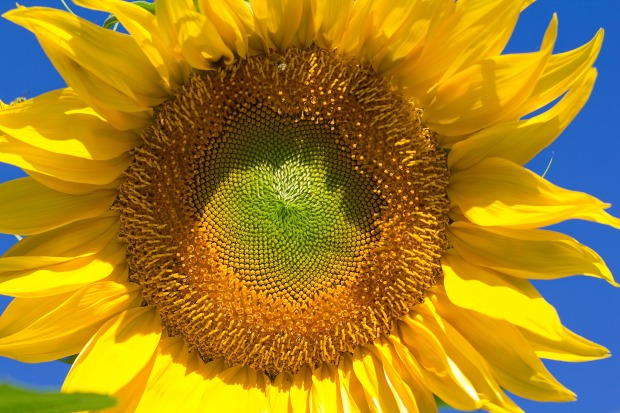 sunflower-2250353_1920